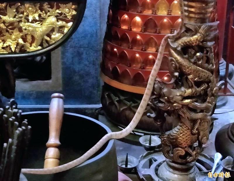 南投縣名間鄉天受宮可見「帝爺公蛇」在神桌、盆栽之間來回穿梭情形。(記者謝介裕攝)