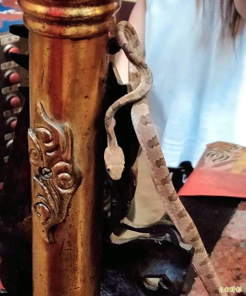 南投縣名間鄉天受宮可見「帝爺公蛇」宛若向神明「參禮」的模樣,令人嘖嘖稱奇。(記者謝介裕攝)