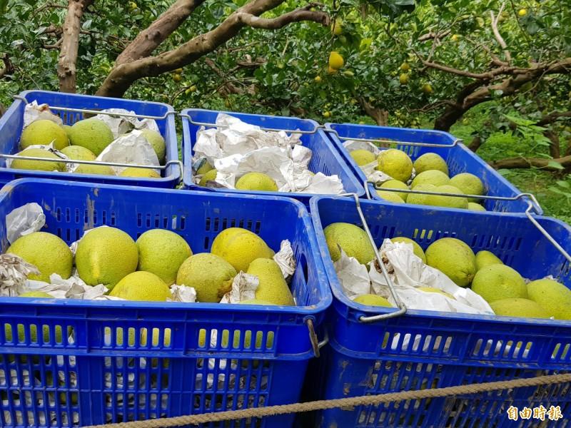 文旦柚示意圖。(資料照)