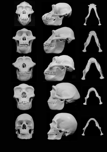 澎湖原人具有直立人的特徵,將台灣發現的古人類化石紀錄,往前推展至超過19萬年的「更新世」中期。圖從底部倒數第二行為直立人頭骨模擬。(路透)