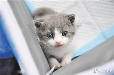 中國首隻複製貓7月21日誕生,年紀已滿1個月。(圖擷取自中國澎湃新聞網)