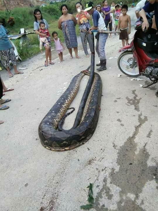 蟒蛇正在交配,卻慘被村民拖出帶回家當晚餐!(圖擷取自鏡報)