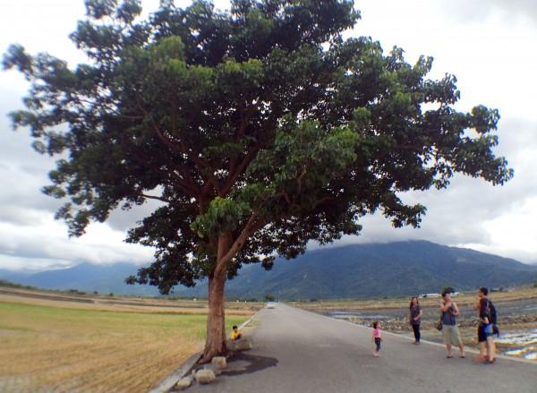 熱門觀光景點的台東池上伯朗大道的「金城武樹」,日前「帥氣」的模樣。(資料照,記者羅沛德攝)