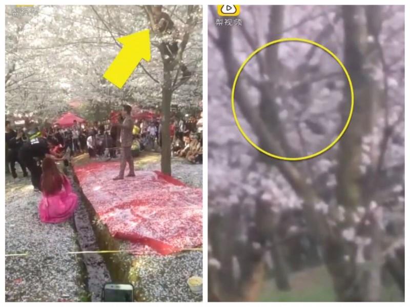 正值櫻花盛開,卻有遊客爬上樹猛搖製造櫻花雨只為拍照,毫無公德心。(圖擷取自梨視頻)