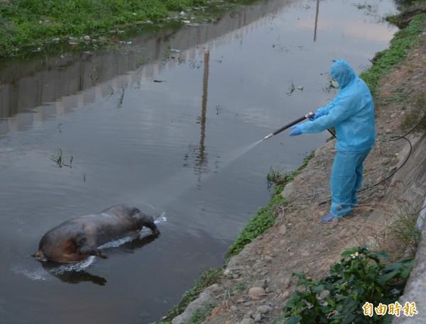 抓到了!彰化花壇排水溝日前發現死豬,今天確認沒有感染非洲豬瘟,警方也抓到棄置者。(資料照)