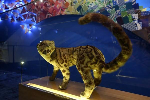 外國團隊拍攝到疑似雲豹身影。圖為國立台灣博物館雲豹標本。(資料照)