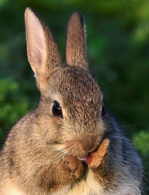 中國廣西日前傳出一名4歲幼童和家長一同到當地的動物園,不料遭園內的兔子咬傷,該男童家長以園方「未盡提醒責任」為由,要求動物園賠償。圖為資料照,與事發現場無關。(路透)
