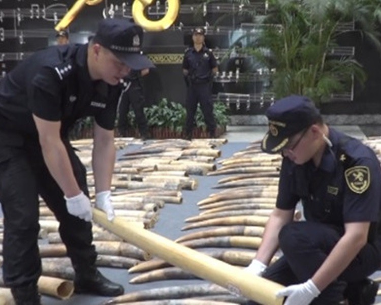 中國海關截獲走私象牙2748根。(圖擷取自網路)