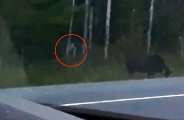 弗萊切特(Audree Frechette)開車時拿手機錄下鴕鹿吃草畫面,但也捕捉到不明生物的身影。(圖擷取自YouTube)