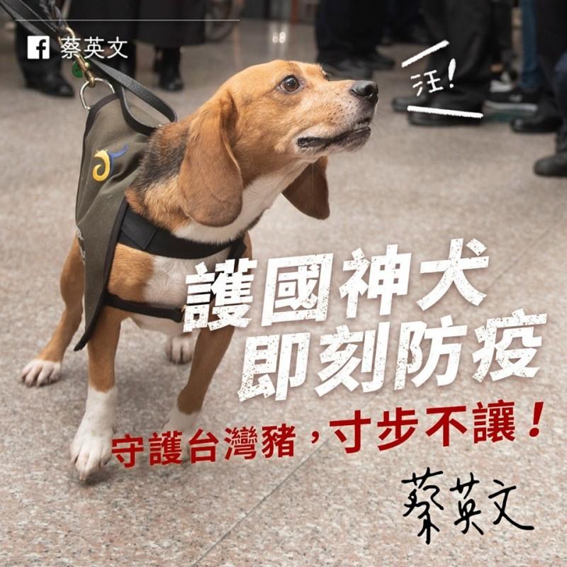 中國的非洲豬瘟疫情持續擴大,連香港也受害。蔡英文總統今在臉書就特別點名負責在旅客入境值勤的檢疫犬「護國神犬米格魯」認真執勤,讓她很放心。(圖擷取自蔡英文臉書)