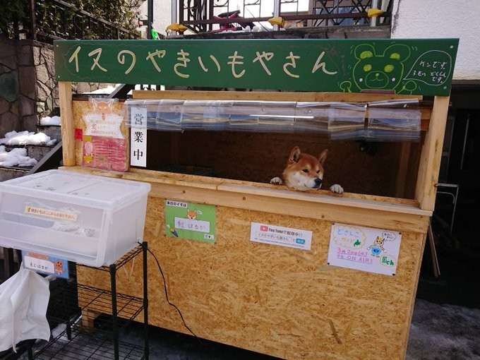 「我是狗狗無法找錢」 地瓜攤缺工乾脆讓「柴犬」看店