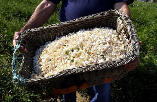 法國南部市鎮格拉斯的花卉種植和芳香調配相關技術,今日列入「非物質文化遺產」名單。(法新社)