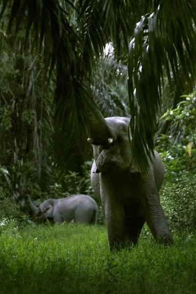近來印尼當地農民,為種植經濟價值極高的棕櫚樹,而不惜焚燒雨林,導至許多大象被迫離開原本棲地,不得走入村落,尋找食物且進行破壞。(法新社)