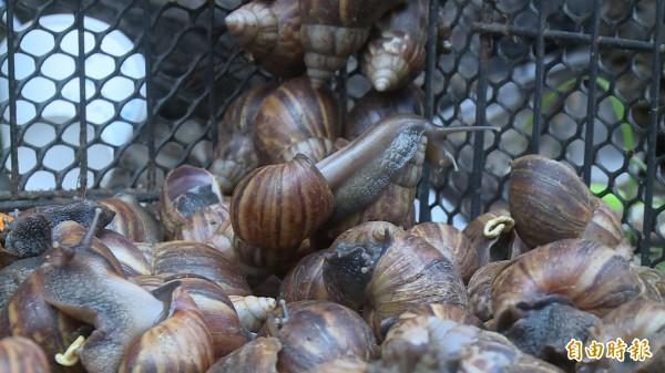 網友發現炒螺肉是蝸牛後,心情久久不能平復。(資料照)