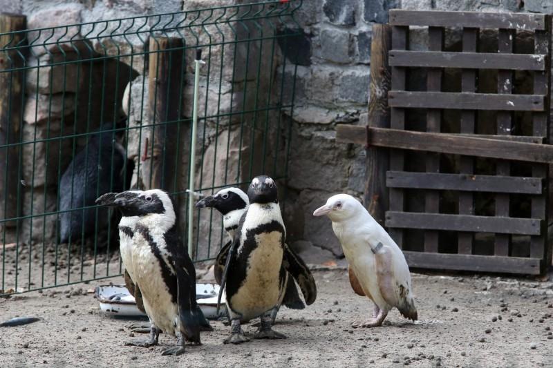 這隻全身雪白的非洲黑腳企鵝(右)去年12月14日出生。(法新社)