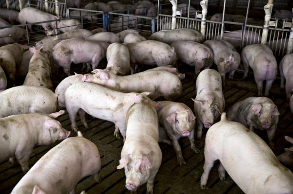 中國近期加強對美國豬肉的檢查。(資料照,彭博)