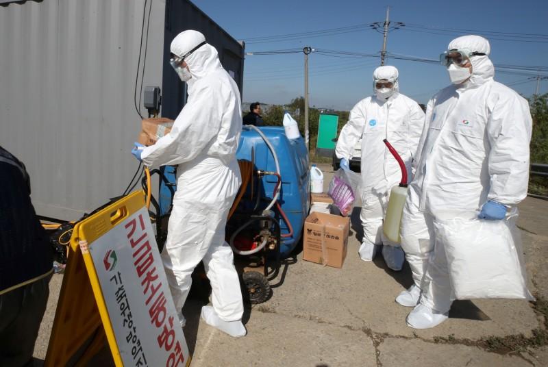 韓國爆發非洲豬瘟疫情之後,目前的豬肉批發價竟然狂跌近40%。(路透)