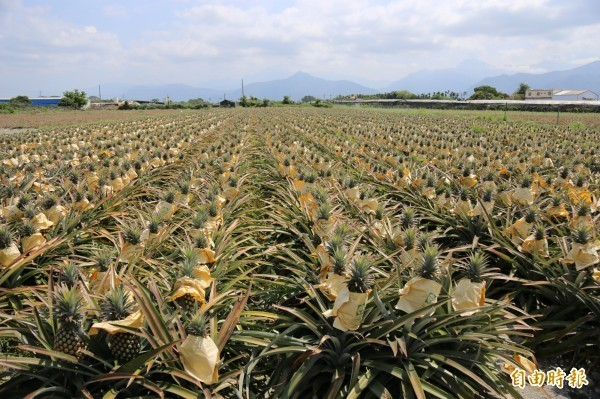 中國、台灣最大鳳梨外銷貿易商「台灣王品果業公司」總經理林志成指出,今年天氣異常,因鳳梨產生「玻璃肉」的狀況,讓今年的鳳梨外銷不如往年。(資料照)
