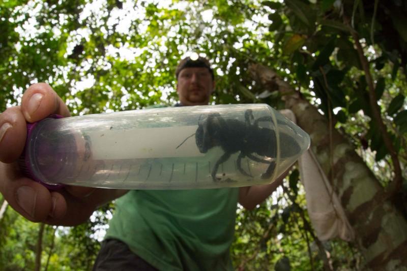 科考團隊在印尼發現世界上最大的蜜蜂,也就是「華萊士巨型蜜蜂(Wallace's giant bee)」。(法新社)