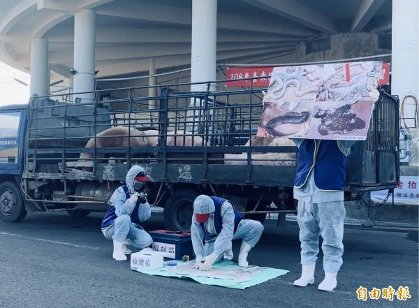 台東縣進行非洲豬瘟緊急防疫模提高擬演習,過程逼真。(記者張存薇攝)