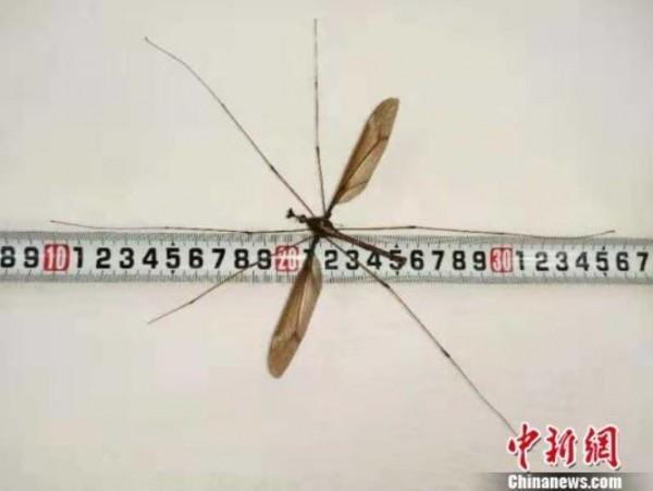 該巨蚊翅膀展開可達11公分,腿張開長度則可達25.8公分。(圖擷自中新網)