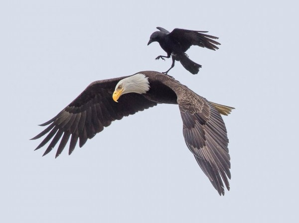 烏鴉後來打算降落在老鷹背上的畫面,美國一名攝影師捕捉到。(圖擷取自boredpanda)