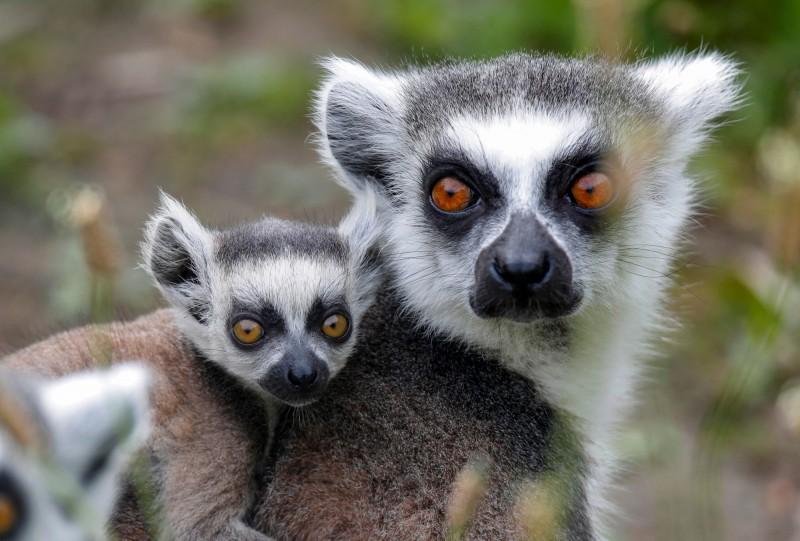 國際自然保護聯盟《紅色名錄》將33種狐猴列入極度瀕危。(路透)