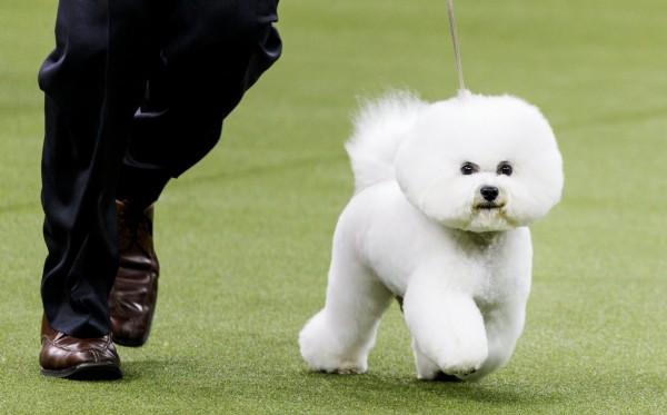 美國西敏寺狗展在當地時間13日晚間選出「犬王」,由超萌的白色比熊犬「Flynn」勝出。(歐新社)