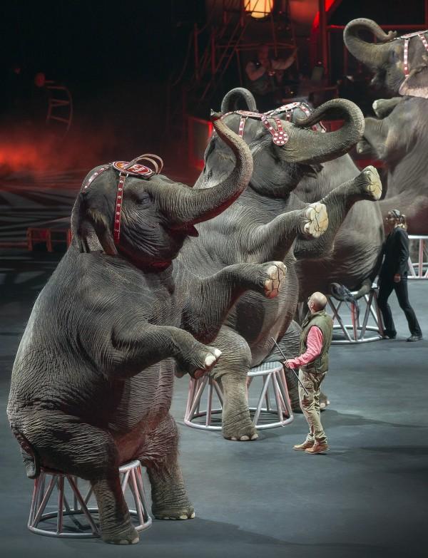 馬戲團旗下13頭大象將送至美國佛州1所大象保育中心。(美聯社)