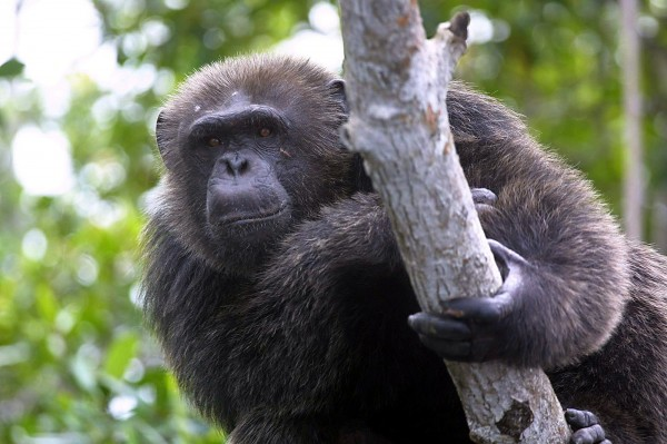一項研究指出,與人類相比,黑猩猩的床更為乾淨。科學家認為,這是因為黑猩猩每天都會換地方休憩,人類則都在同一張床睡覺。(法新社)