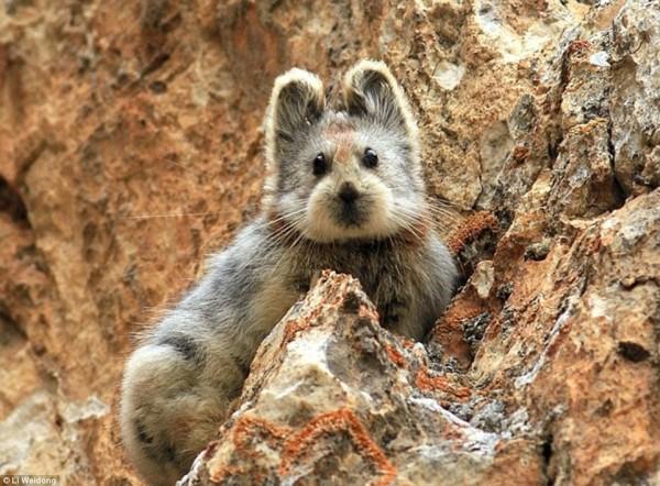 在1983年被發現的物種「伊犁鼠兔」,在銷聲匿跡多年後,再度被發現。(圖擷取自《每日郵報》)