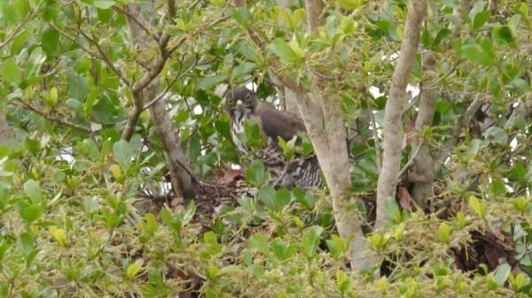 蒼鷹媽媽蹲在大樹的巢穴上孵蛋。(警方提供)