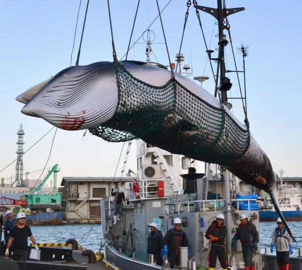 日本最快明年7月就能在近海及其經濟海域(EEZ)內實施商業捕鯨行為。(美聯社)
