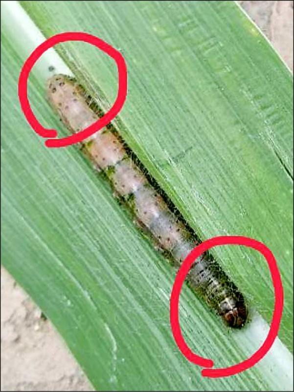秋行軍蟲特徵是幼蟲頭殼有黃色倒Y型紋路(右下角),背部各體節有梯型狀分布的4個斑點。(讀者張先生提供)