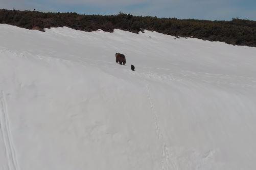小熊緊跟著母熊,努力在積滿白雪的山壁上拚命往上爬,最後終於成功爬上頂端。(圖擷自Youtube)