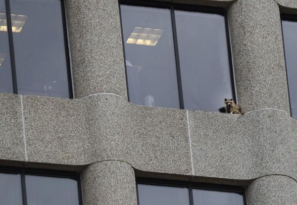 還一路爬到20多層樓高,不禁讓人為牠捏一把冷汗。(美聯社)