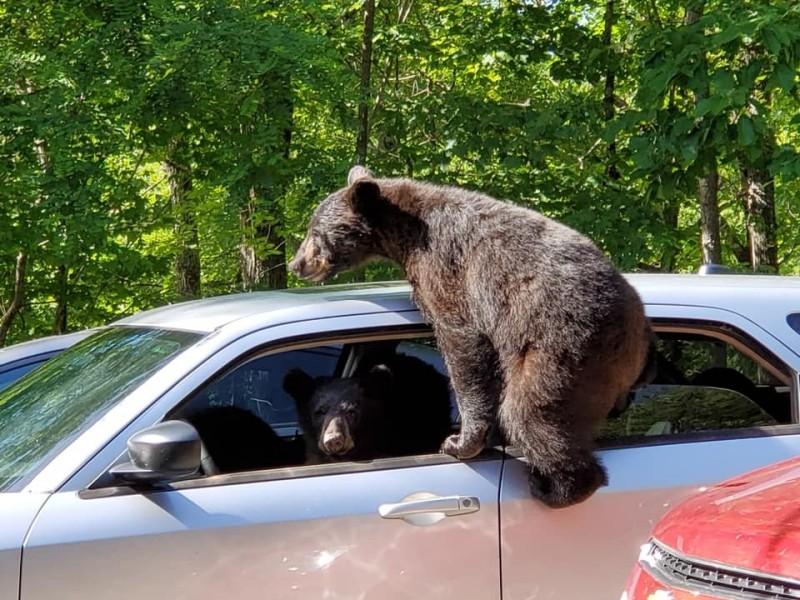 美國田納西州驚見熊熊家族在轎車上玩得很開心。(圖擷自Chad Morris臉書)