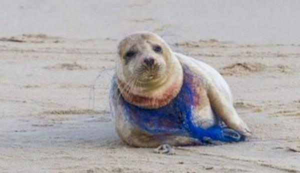 英國諾福克郡海灘上的一隻雌海豹被尼龍網勒頸勒到出血,臉上表情無比悲傷,雖有動物救援人員前來協助,海豹最後仍然喪命。(圖擷自Surfers Against Sewage臉書粉絲頁)