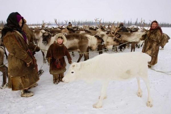 本次疫情主要集中於亞馬爾—涅涅茨自治區,當地牧民主要是靠養鹿維生,且鹿肉也是以高品質而聞名。(圖擷自abcNews)