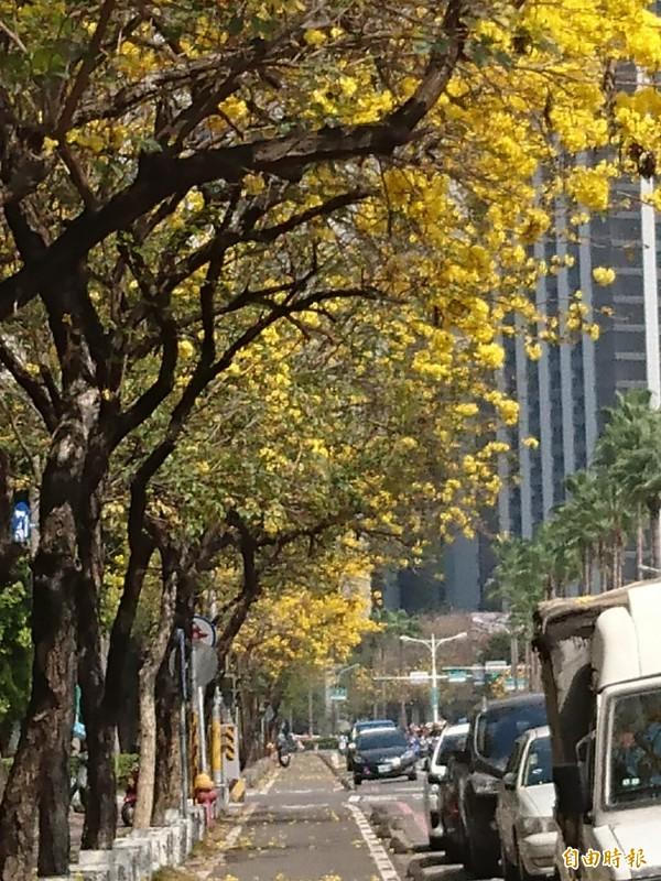 台南市林森路—帶黃花風鈴木正盛開,形成串串花朵紛飛的美麗街景。(記者洪瑞琴攝)