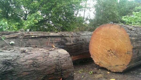 內湖分局長指出,遭盜採的檜木是「漂流木」,引發質疑,但台東林區管理處長表示,依照片判斷確實是漂流木。(圖由市議員高嘉瑜提供)