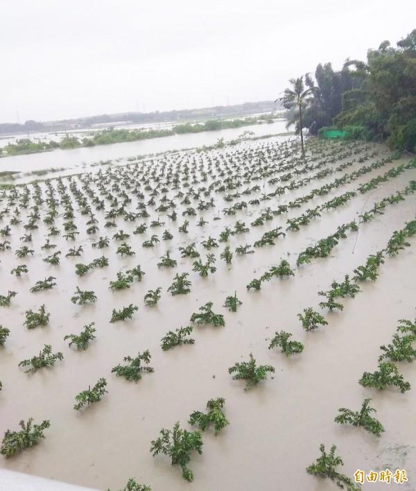 芭樂農損嚴重,圖為阿蓮區芭樂樹泡在水裡,目前積水已退去。(記者陳文嬋攝)