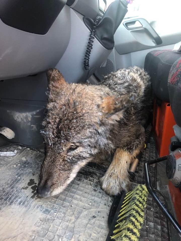 被誤認為狗狗的狼,於送醫途中相當溫馴。(圖擷自EUPA臉書)