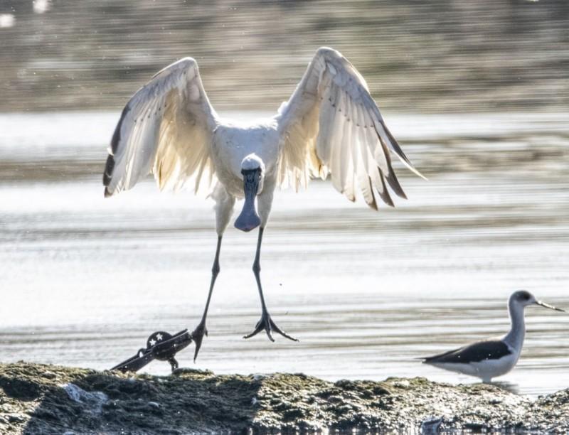 鳥友在礁溪廢棄魚塭發現這隻黑面琵鷺腳中獸鋏。(鳥友汪承禎提供)