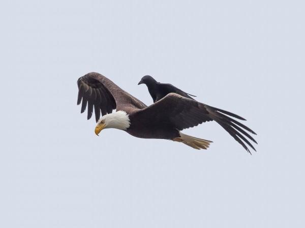 烏鴉不知出於何意,在老鷹背上「搭便車」,老鷹也不介意。(圖擷取自boredpanda)