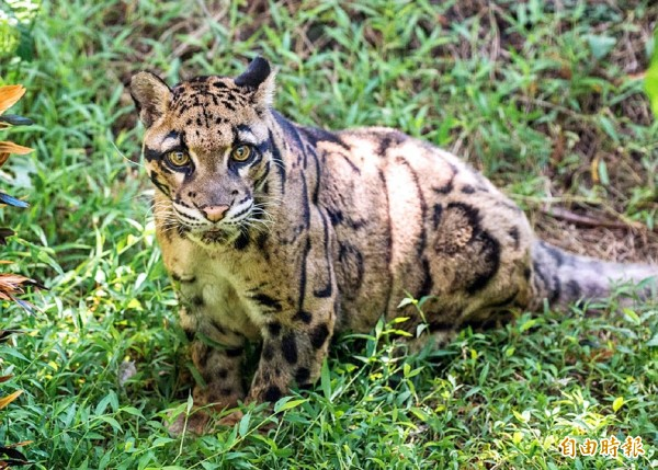 A Southeast Asian clouded leopard named Yunhsin, who has died aged 18 of multiple organ failure, is seen in an undated photograph. Photo courtesy of Taipei Zoo