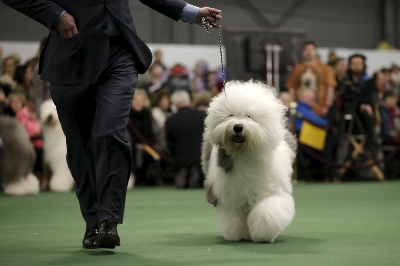 韓國1名飼主牽著英國古代牧羊犬出門溜狗時,愛犬竟狠咬無辜男子的生殖器。英國古代牧羊犬示意圖。(路透)