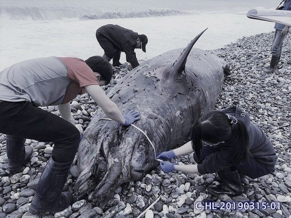 《TAIPEI TIMES》 Two dolphins, whale stranded on east coast
