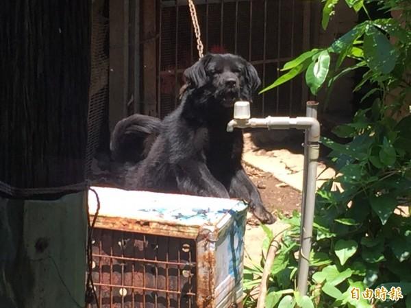 闖禍的土狗「阿肥」,平常被狗鍊綁在果園與雞舍之間。(記者歐素美攝)