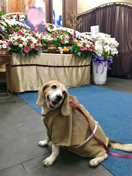 1隻寵物犬被穿上孝服替主人送終,讓網友眼眶都紅了。(圖擷取自爆廢公社)